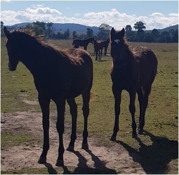 buckaroo barn australia thoroughbred horse 4